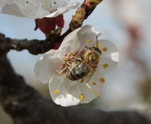 fleurs abricot abeille