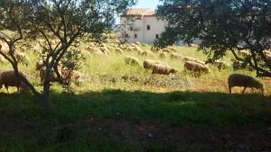 mouton verger voisin
