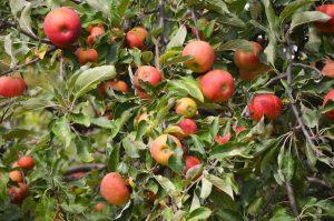 multitude-pommes-sur-arbre